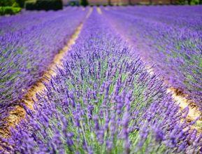 lavender-flowers-1595487_1920.jpg